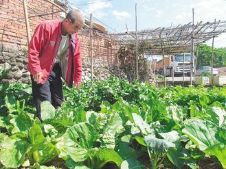 名间乡民吴文笔栽种的蔬菜十分青翠茂盛,他免费送给困苦家庭当年菜。(记者纪文礼/摄影)