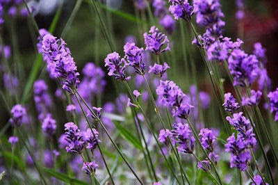 160123 lavender